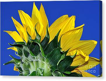 Vibrant Sunflower In The Sky Canvas Print by Kaye Menner