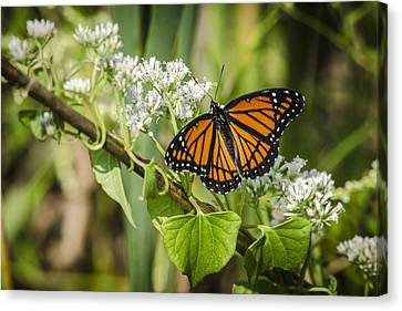 Viceroy Butterfly Canvas Print by Bradley Clay
