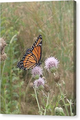 Viceroy On Thistle Canvas Print by Robert Nickologianis