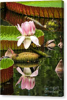Victoria Cruziana Waterlily		 Canvas Print by Zina Stromberg