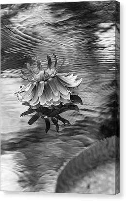 Victoria Regia Blossom. Royal Botanical Garden In Mauritius. Black And White Canvas Print