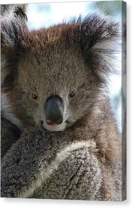 Victorian Koala Canvas Print by Margaret Saheed