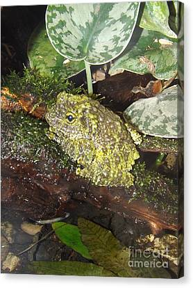 Vietnamese Mossy Frog Canvas Print by Sara  Raber