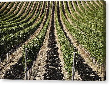View Down The Row Of Vines Canvas Print by Alexander Macfarlane