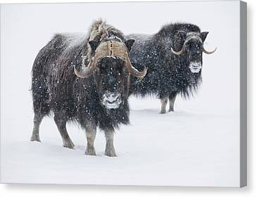 View Of A Pair Of Muskoxen Bulls Canvas Print