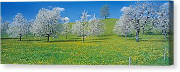 View Of Blossoms On Cherry Trees, Zug Canvas Print by Panoramic Images
