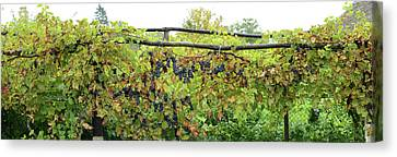 Romania Canvas Print - View Of Grape Vines, Bradu, Arges by Panoramic Images