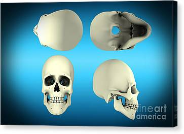 View Of Human Skull From Different Canvas Print by Stocktrek Images