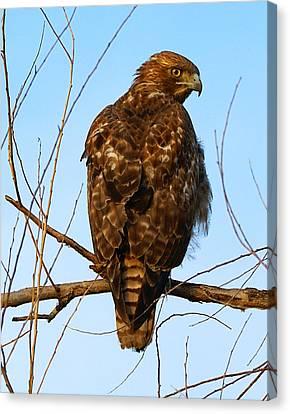 Vigilant Red-tailed Hawk  Canvas Print