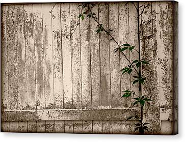 Canvas Print featuring the photograph Vine And Fence by Amanda Vouglas