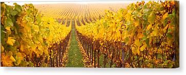 Vine Crop In A Vineyard, Riquewihr Canvas Print
