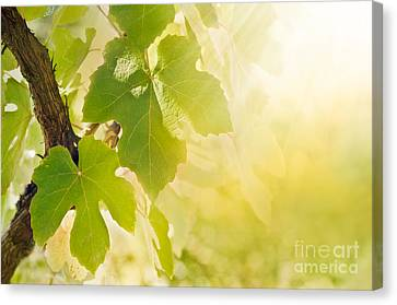 Vine Leaf Canvas Print by Mythja  Photography