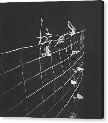 Vine On A Fence Canvas Print