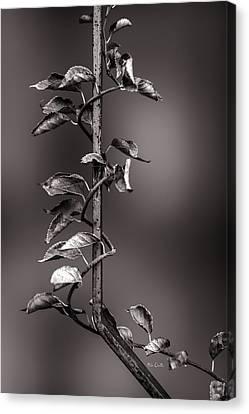Vine On Iron Canvas Print by Bob Orsillo