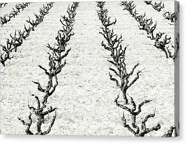 Grape Vines Canvas Print - Vines by Frank Tschakert