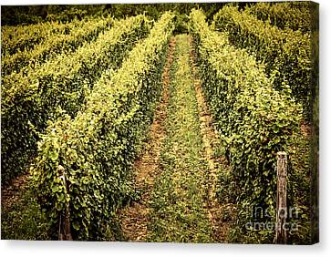 Vines Growing In Vineyard Canvas Print by Elena Elisseeva