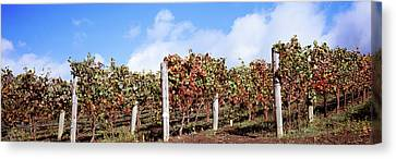 Vines In A Vineyard, Napa Valley, Wine Canvas Print
