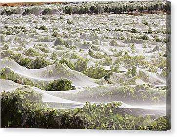 Grape Vines Canvas Print - Vineyard by Ashley Cooper