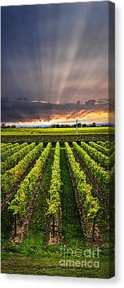 Vine Grapes Canvas Print - Vineyard At Sunset by Elena Elisseeva