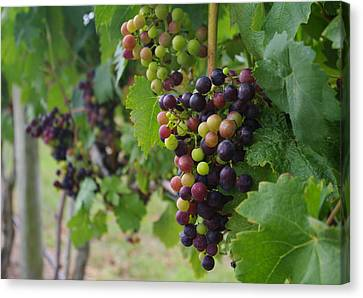 Vineyard Colors Canvas Print