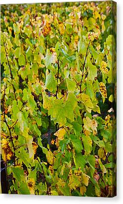 Vineyard In Autumn, Chigny-les-roses Canvas Print by Panoramic Images