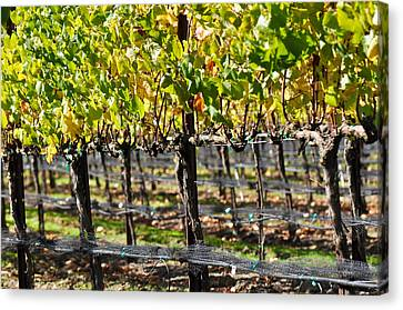 Vineyard In Autumn Fall Canvas Print by Brandon Bourdages