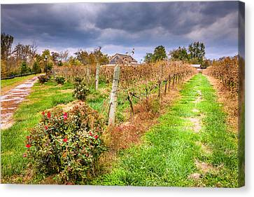 Vineyard In Fall Canvas Print by Alexey Stiop