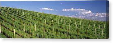 Vineyard In Napa Canvas Print - Vineyard, Napa County, California, Usa by Panoramic Images