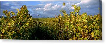 Vineyard, Napa Valley, California, Usa Canvas Print by Panoramic Images