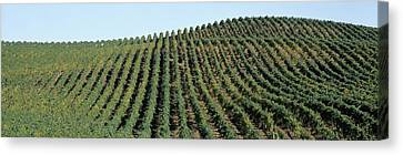 Vineyard, Napa Valley, Napa County Canvas Print by Panoramic Images