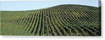 Napa Canvas Print - Vineyard, Napa Valley, Napa County by Panoramic Images