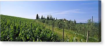 Vineyard, Tuscany, Italy Canvas Print