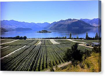 Vineyard View Of Ruby Island Canvas Print by Venetia Featherstone-Witty