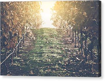Vineyard With Blue Sky In Autumn With Vintage Film Style Filter Canvas Print