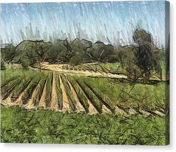Vineyard With Oak Canvas Print by Bud Anderson