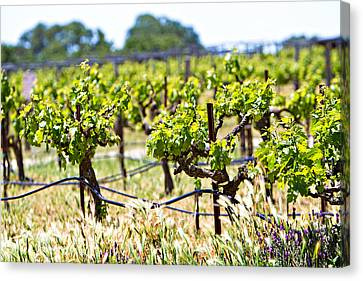 California Vineyard Canvas Print - Vineyard With Young Plants by Susan Schmitz