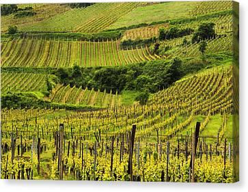 Vineyards Above Ammerschwihr France Canvas Print by Greg Matchick