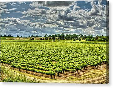 Vineyards Almost Ripe Canvas Print
