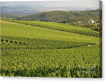 Vineyards And Cypresses In San Gusme Canvas Print by Sami Sarkis