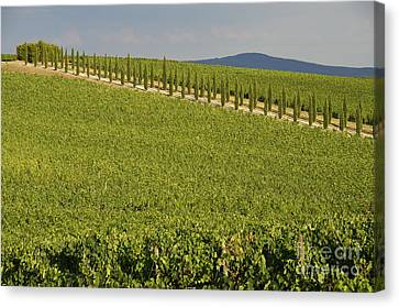 Vineyards And Cypresses Tree Alley In Chianti Canvas Print by Sami Sarkis