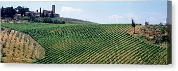 Vineyards And Olive Grove Outside San Canvas Print by Panoramic Images