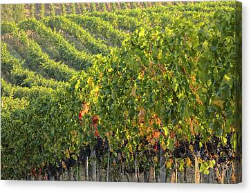 Pastoral Vineyard Canvas Print - Vineyards In The Rolling Hills by Terry Eggers