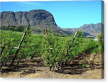 Vineyards Of Franschoek, Cape Wine Canvas Print by Miva Stock