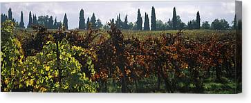 Vineyards With Trees In The Background Canvas Print