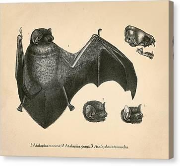 Vintage Bat Anatomy Canvas Print by Pati Photography