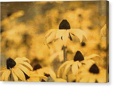 Canvas Print featuring the photograph Vintage Black-eyed Susans by Peggy Collins