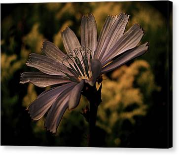 Vintage Chicory Canvas Print by Tim Good
