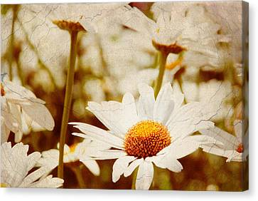 Vintage Daisy Canvas Print by Beverly Stapleton