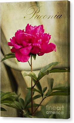 Vintage Peony Canvas Print by MaryJane Armstrong