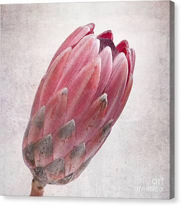 Vintage Protea Canvas Print by Jane Rix